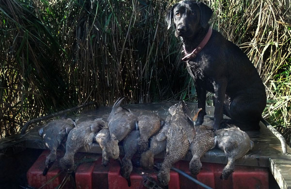 Duck hunting waterfowl retriever